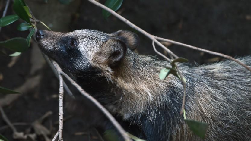Das Gitlab-Maskottchen ist ein Marderhund (Tanuki).