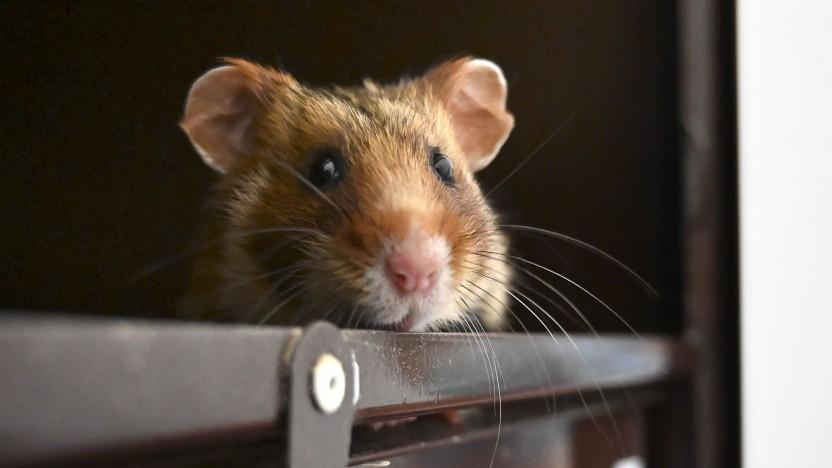Hamster können offenbar mit Geld umgehen.